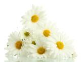 Fototapeta Daisies - na białym tle - Kwiat