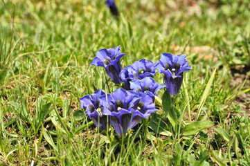 Gentian in mountain