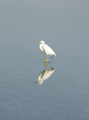 A lone beautiful white heron and reflection on water