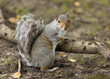 the Grey Squirrel In Autumn