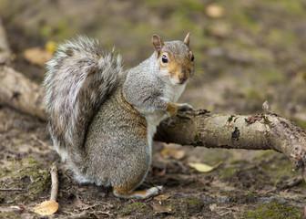 the Grey Squirrel In Autumn