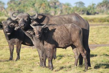bufalo - safari in Kenya