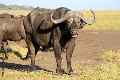 bufalo - safari in Kenya