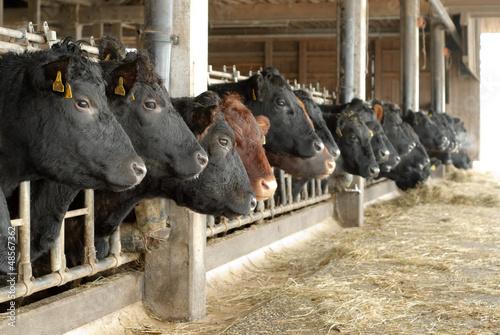 canvas print picture Kühe in einer Reihe im offenem Stall