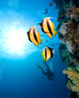 Masked Butterfly Fishes  and silhouette of diver