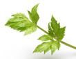Celery leaves