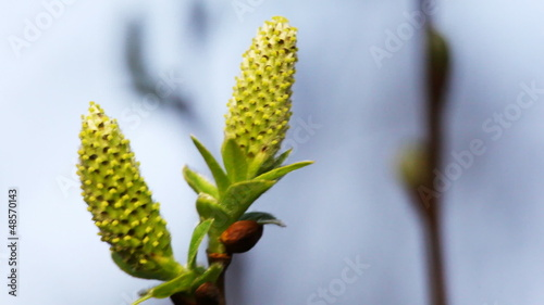 two blossoming willow buds on branches swaying in wind