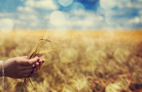 Farmer hand keep green wheat spikelet.