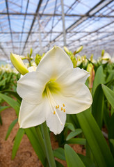 Blossoming lily in a greenhouse