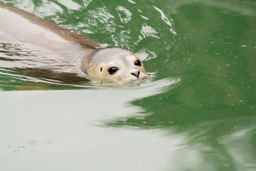 Seal pup swimming