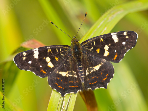 Beautiful map butterfly is resting on grass in the sun