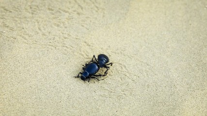 Two scarab beetle mate on the sand