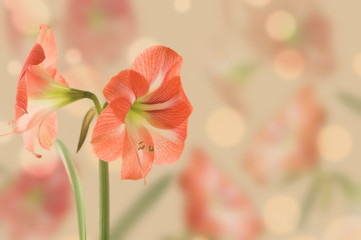 Large flower Hippeastrum, design.