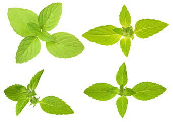 isolated green mint leaves set