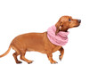 dachshund dog dressed into scarf isolated over white