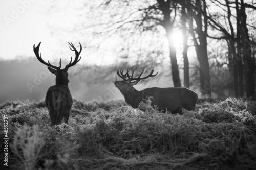 jelenie-w-parku-richmond