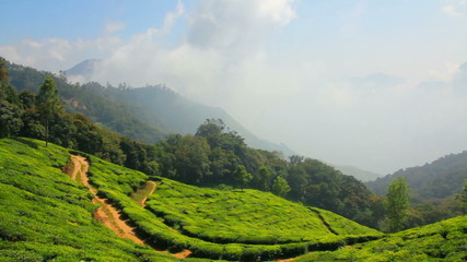 mountain tea plantation in Munnar Kerala India