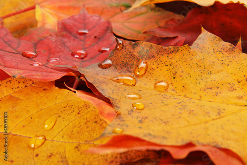 wet leaves  of maple