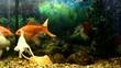 Gold fish swimming in the aquarium