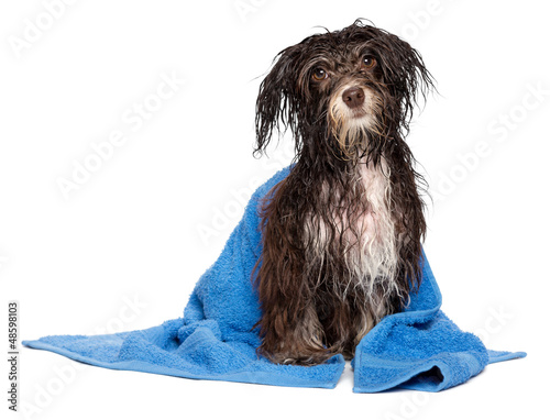 Wet dark chocolate havanese puppy dog after bath with blue towel