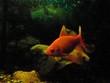 A couple of goldfish