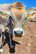 vitello - calf closeup
