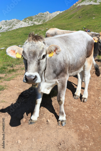 mucca - cow on Dolomites