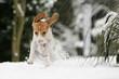 Beaglewelpe tobt im Schnee