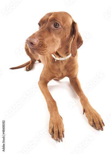 Funny Vizsla. Wide angle portrait of a beautiful dog. Poster