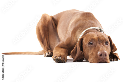 Poster Tired dog. Brown beautiful Hungarian Vizsla. Isolated on white.