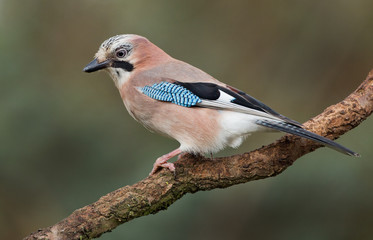 Jay bird on a branch