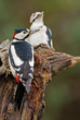 Two Great Spotted Woodpeckers on a stump