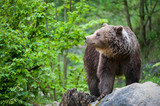 brown bear (lat. ursus arctos)