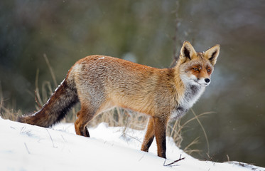 Red fox in a snowy landscape