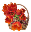 basket with red tulips on white background