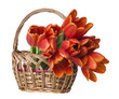 red tulips in a little basket isolated