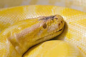 Thai Python Yellow