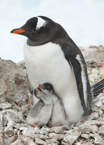 Gentoo penguin female sitting on the nest.