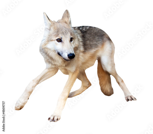 Wolf in motion over white