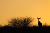 Fototapete Ears - Sunrise - Säugetiere