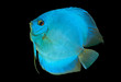 Blue Discus isolated on black