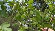 hand pick gather ripe hazel nutwood nuts nut-tree branch