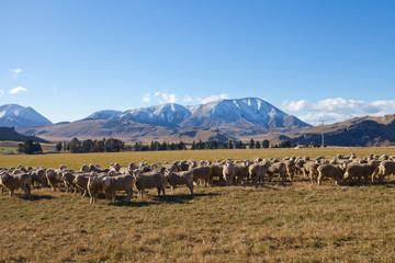 Sheep farmland in Canterbury region along the Mountain valley NZ