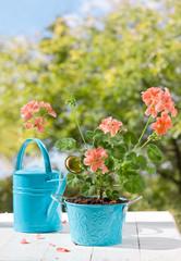 Цветущая розовая герань в синем горшке и лейка на фоне листвы