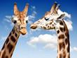 Obrazy drukowane na płótnie, fototapety, zdjęcia, fotoobrazy cyfrowe : Two Giraffes