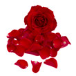 red rose with petals
