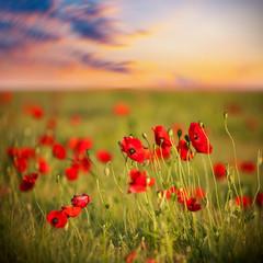 beauty red poppy