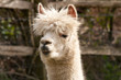 alpaca chewing bits of grass