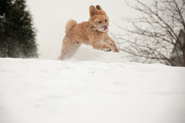 Small dog running & jumping in snow