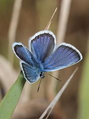 gossamer-winged butterfly. macro